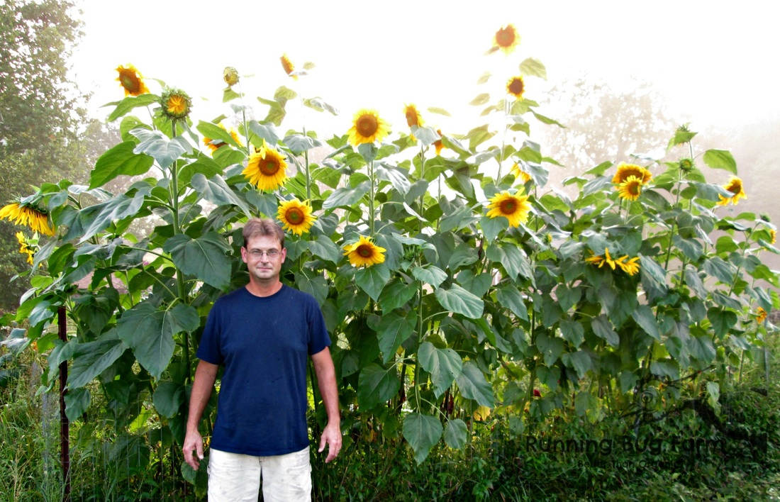 How to grow your own tall sunflowers starting from seeds