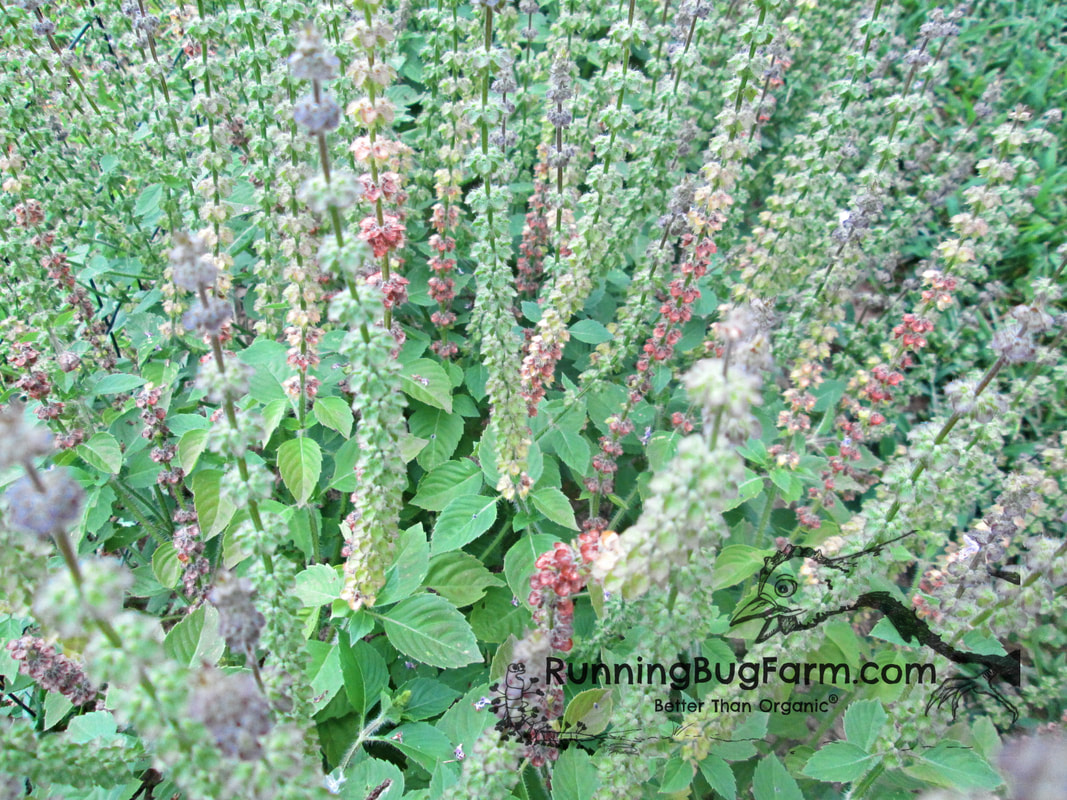 Learn how easy it is to grow your own organic Holy Basil aka Tulsi herb at home for teas, tinctures, tonics & beauty.