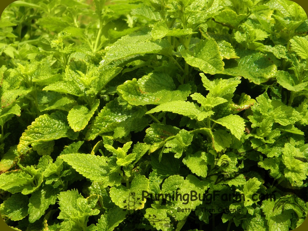 Learn how easy it is to grow your own organic and non gmo lemon balm herb from seed for relaxing teas, tinctures and more.